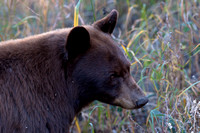 Brown Colored Black Bear
