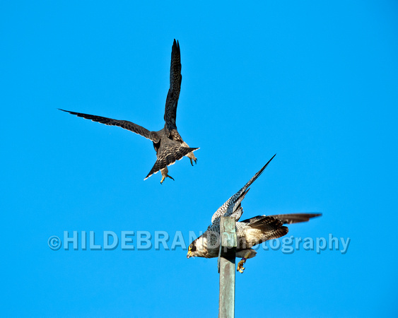 Offspring falcon showing hunger aggression towards mom
