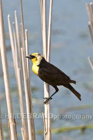 Yellow-headed Blackbird