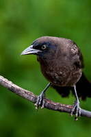 Common Grackle""