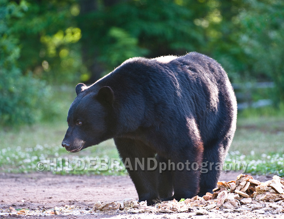 Black Bear at Bait Site - No.3