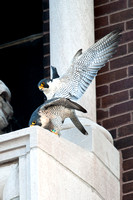 Mating Peregrine Falcons