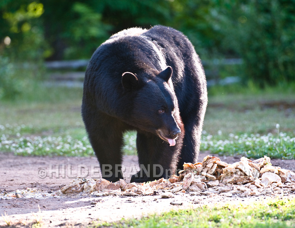 Black Bear at Bait Site - No.1